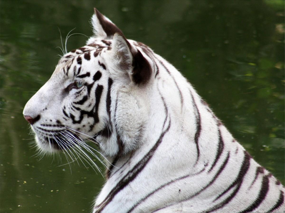 White tiger at the New Delhi Zoo, India