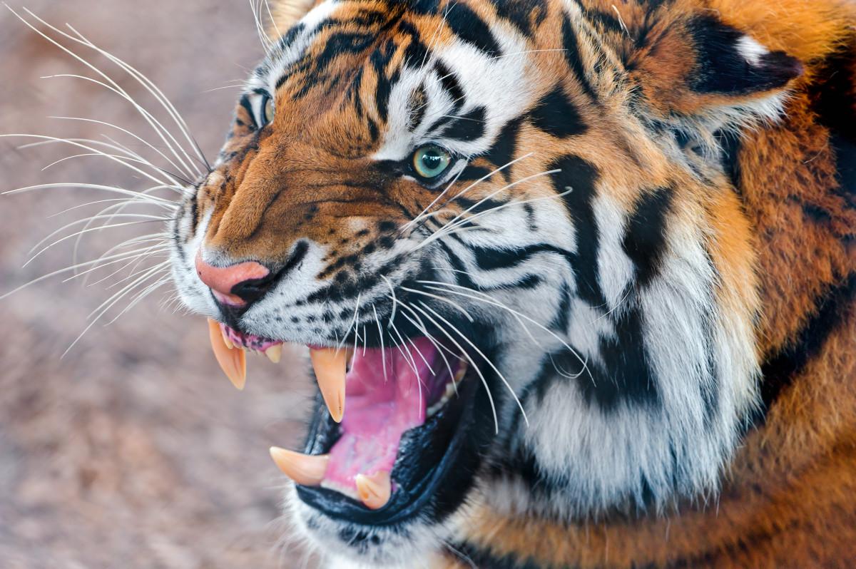 Tambako the Jaguar, CC BY-ND 2.0, via Flickr