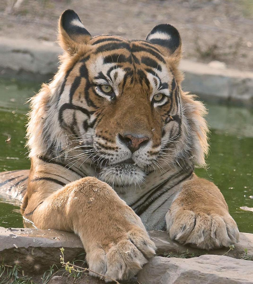 Tiger cooling off at Ranthambhore National Park in India