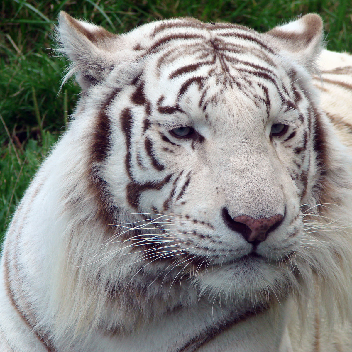 Vassil, CC0-1.0 Universal Public Domain Dedication, via Wikimedia Commons White tiger at the Zoo of Amnéville in France