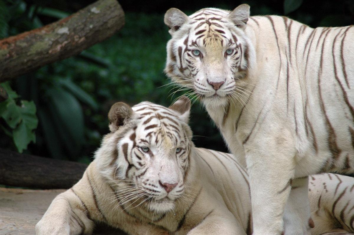 Two white tigers (Singapore Zoo)