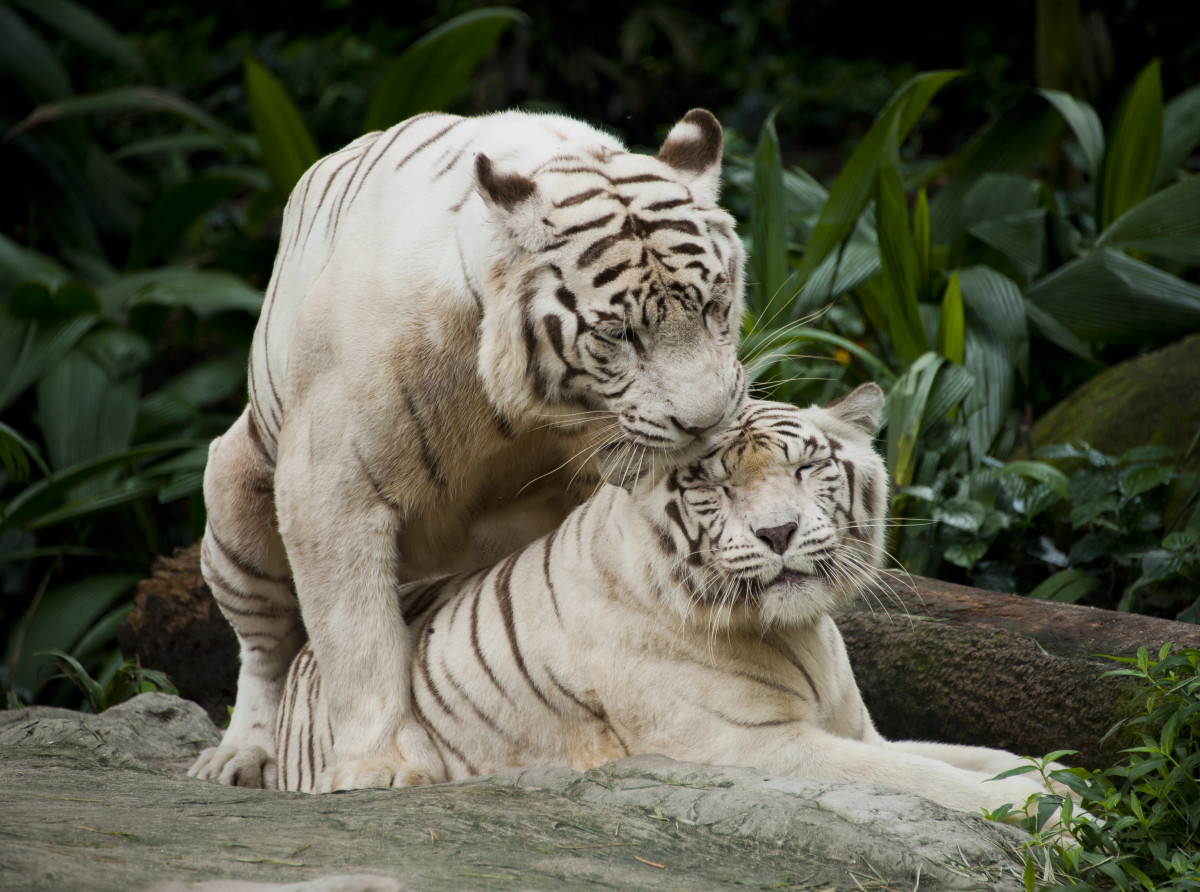 A pair of affectionate white tigers (Singapore Zoo)