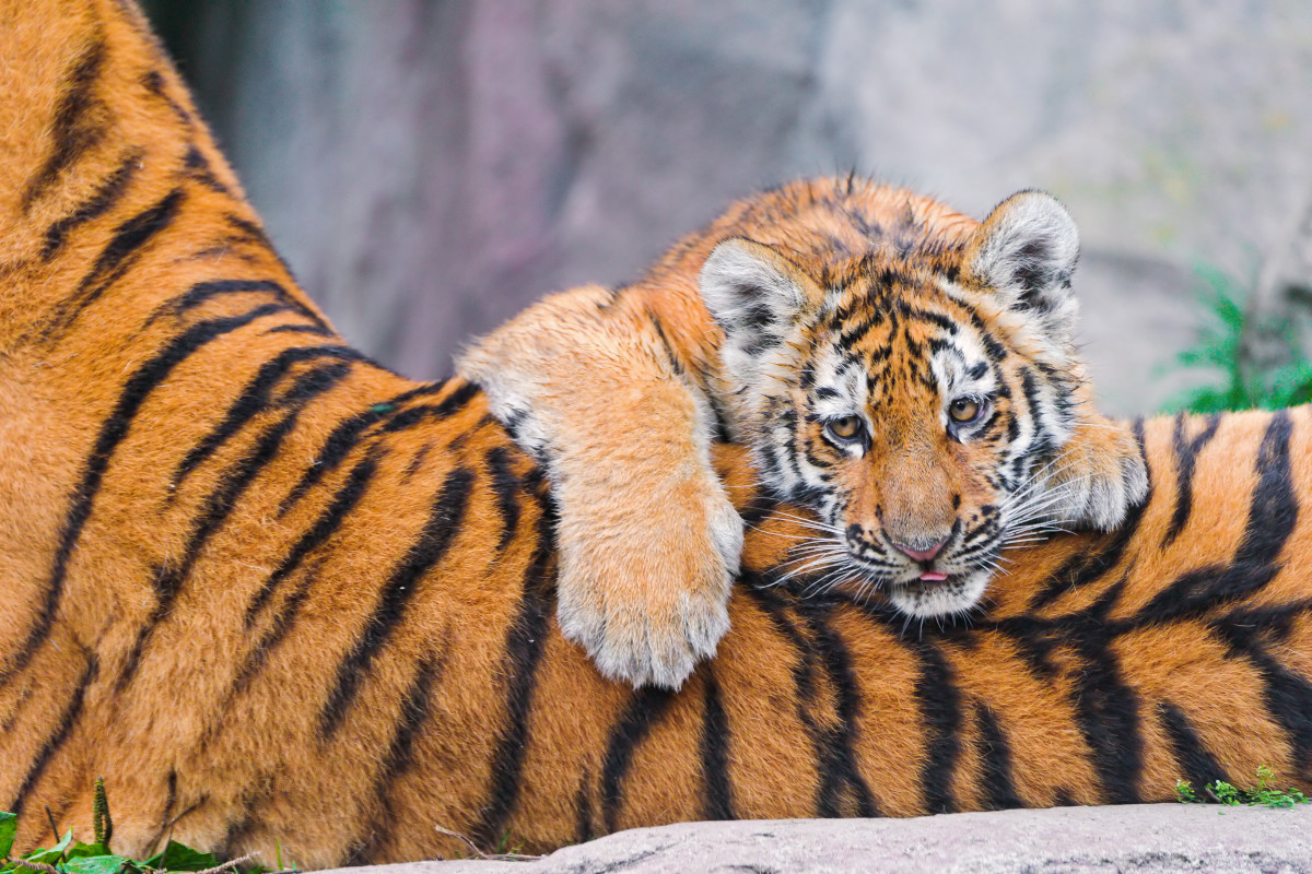 Lailek lying on his mother's back