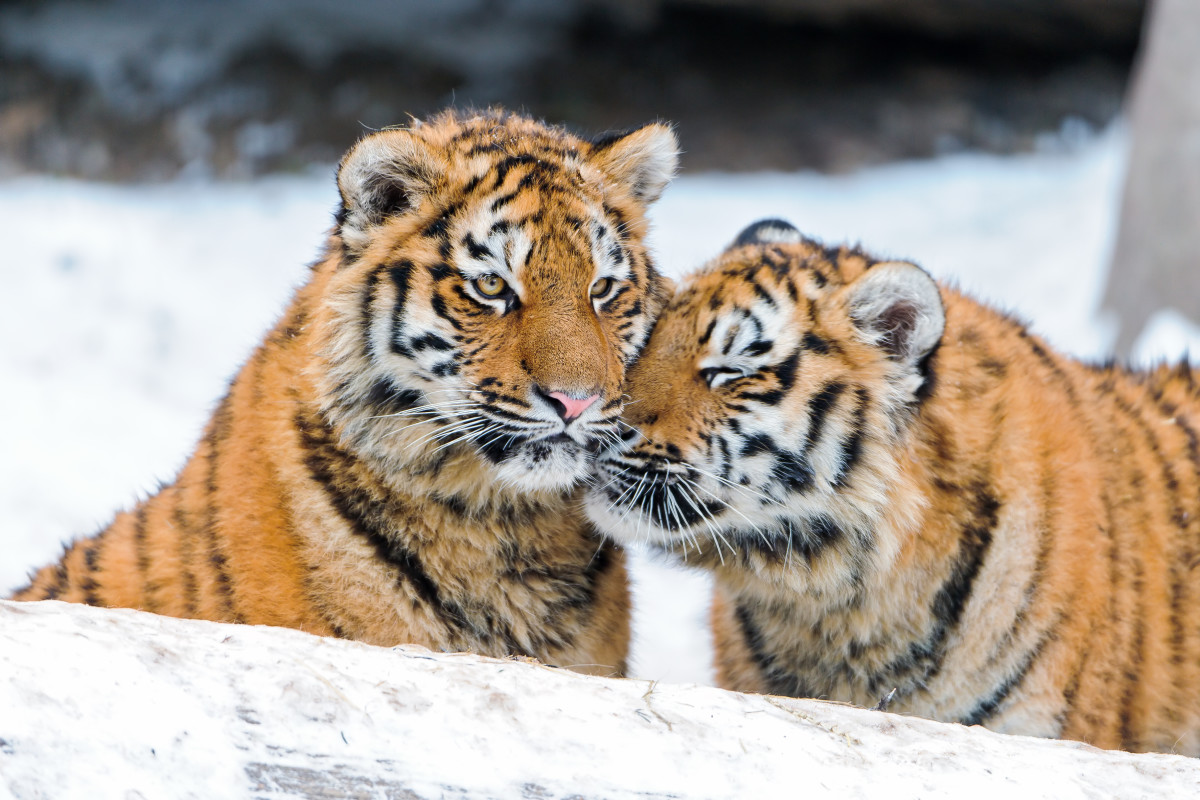 Tiger cubs Liska and Luva snuggling