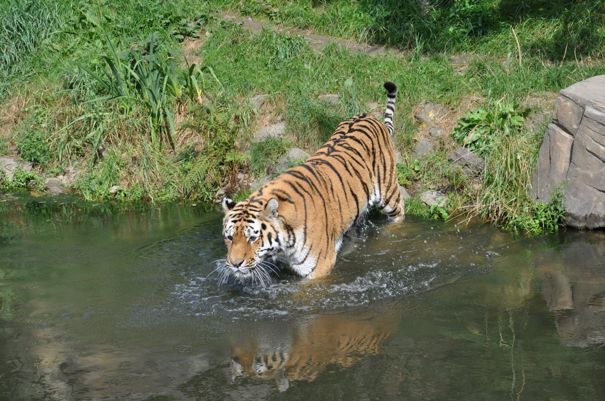 A tiger getting in the water at Wuppertal Zoo in Germany