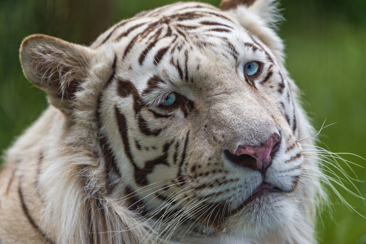 The white tiger is a genetic variation of the Bengal tiger. Like golden tigers, white tigers are not a distinct subspecies. Though extremely rare in the wild, white tigers are popular in zoos because of their unique coloring.