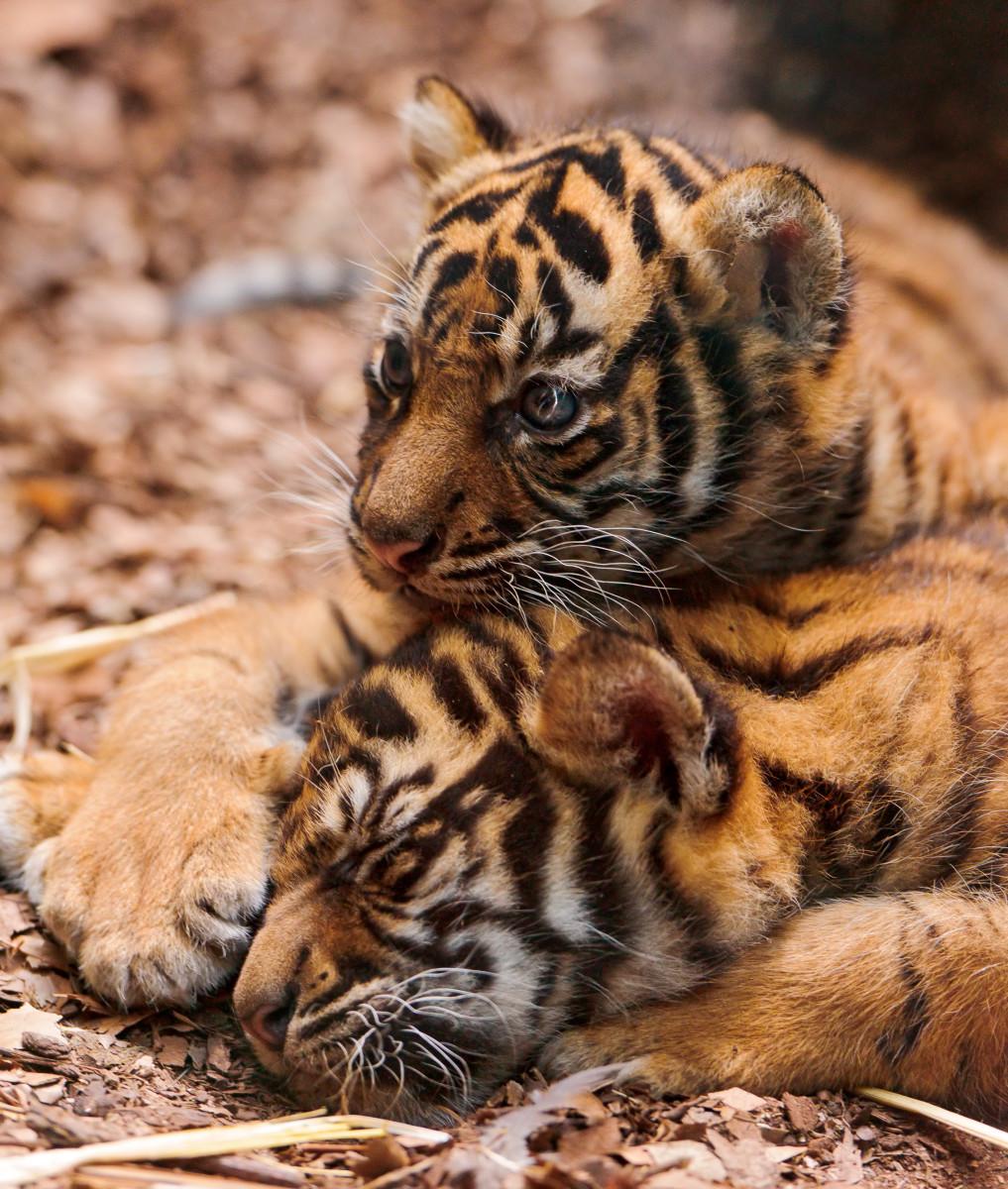 Tambako the Jaguar, CC BY-ND 2.0, via FlickrSumatran tiger cubs at the Frankfurt Zoo in Germany