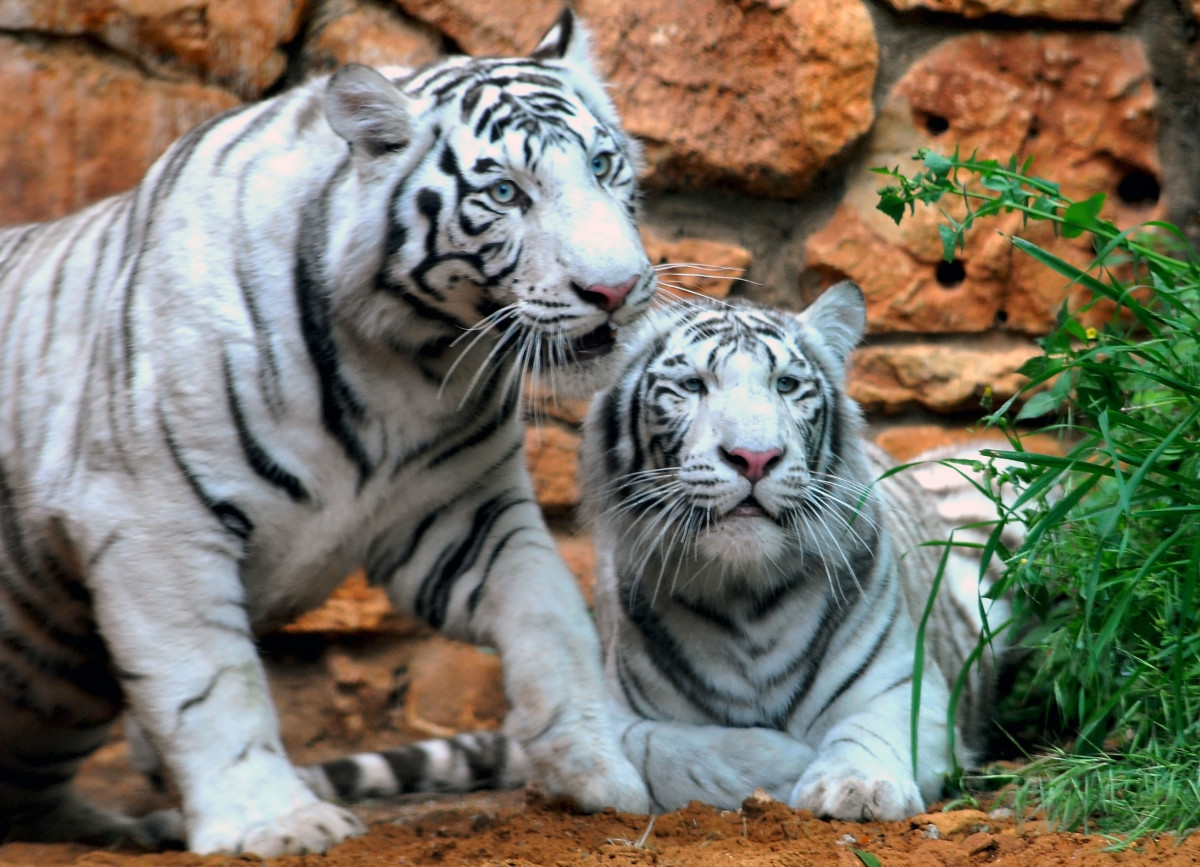 A pair of White Bengal Tigers at the Haifa Educational Zoo in Israel