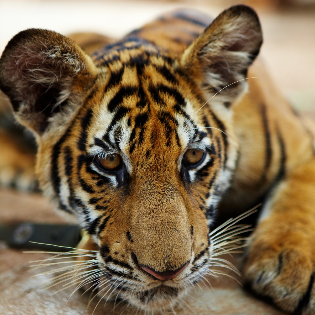 """Tiger cub at the controversial """"Tiger Temple"""" in Kanchanaburi province, Thailand"""