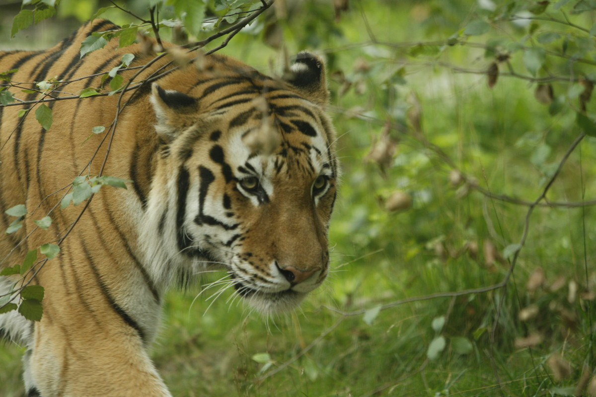 Male Siberian tiger at the Bronx Zoo
