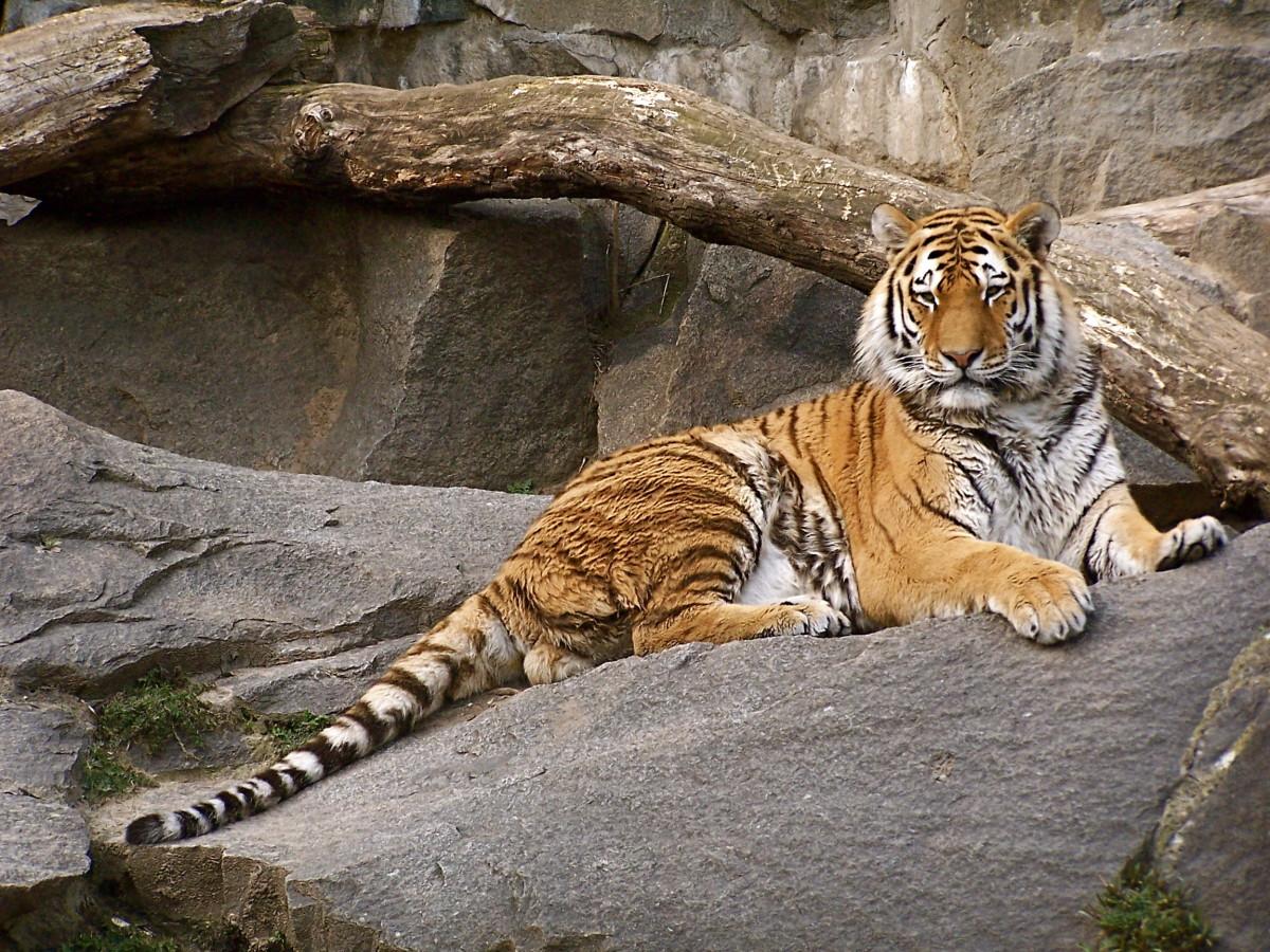 Siberian tiger at Tierpark Berlin