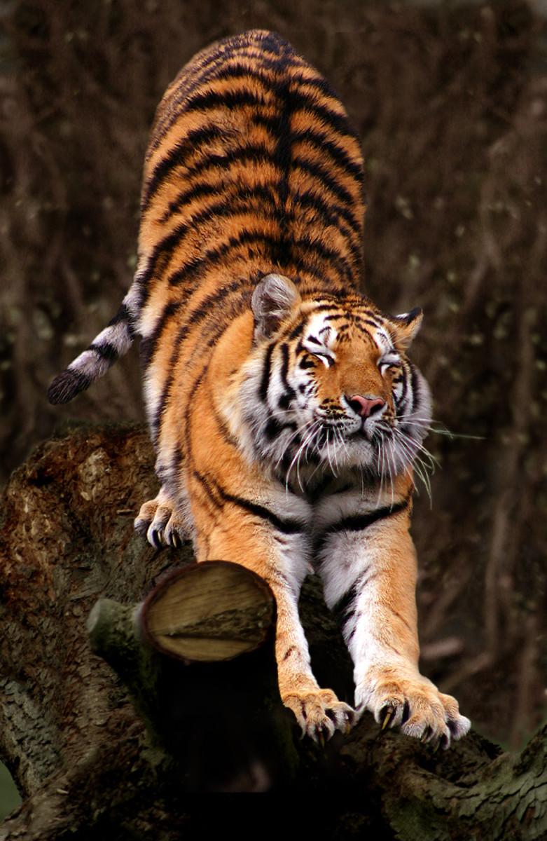 Siberian tiger at Aalborg Zoo, Denmark
