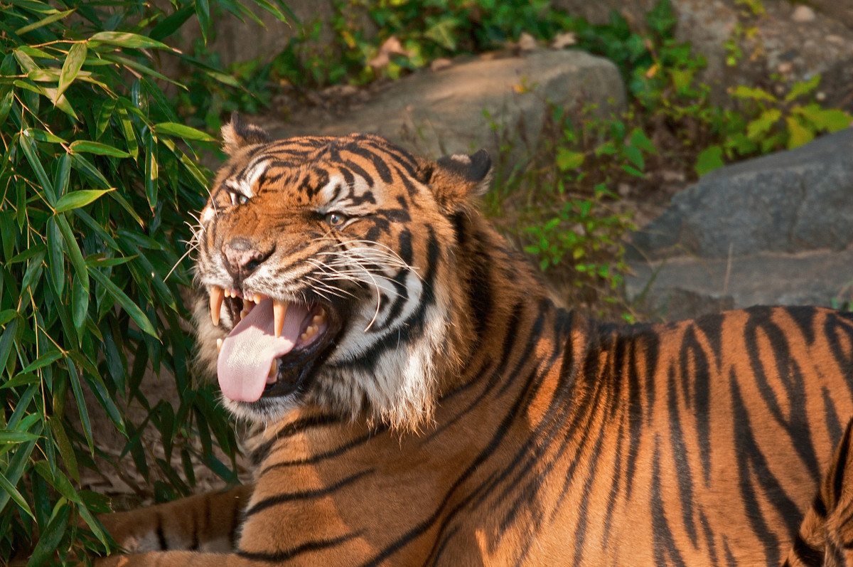 Tiger performing the Flehmen response, which helps them detect scents