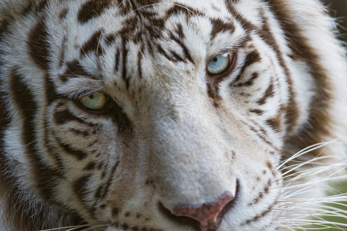Tambako the Jaguar, CC BY-ND 2.0, via FlickrWhite tiger