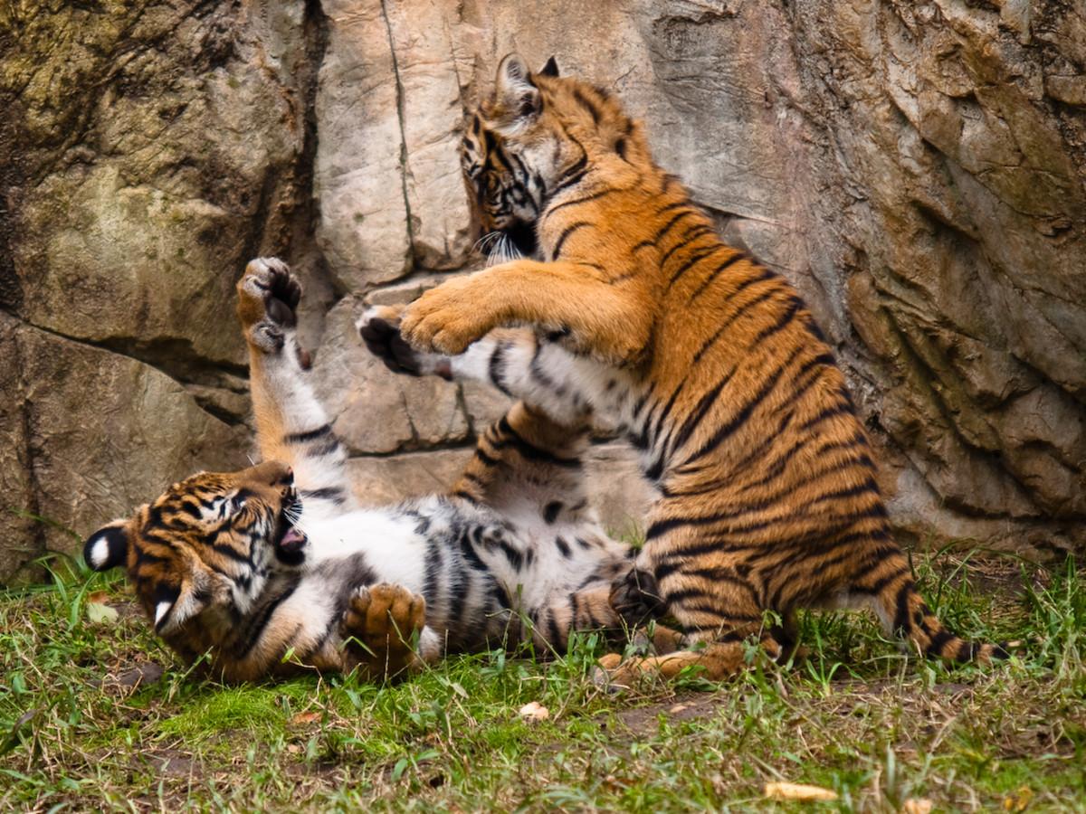 Malayan tiger cubs playing