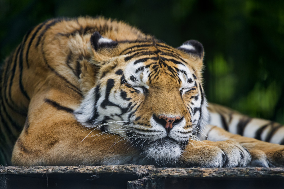 Tiger taking a nap at Filmtierpark in Germany