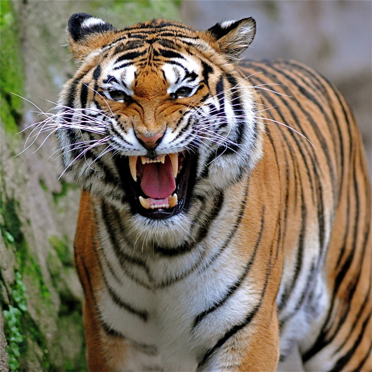 By claudiogennari (Tiger attak...  Uploaded by Japan Maik), CC-BY-2.0, via Wikimedia Commons