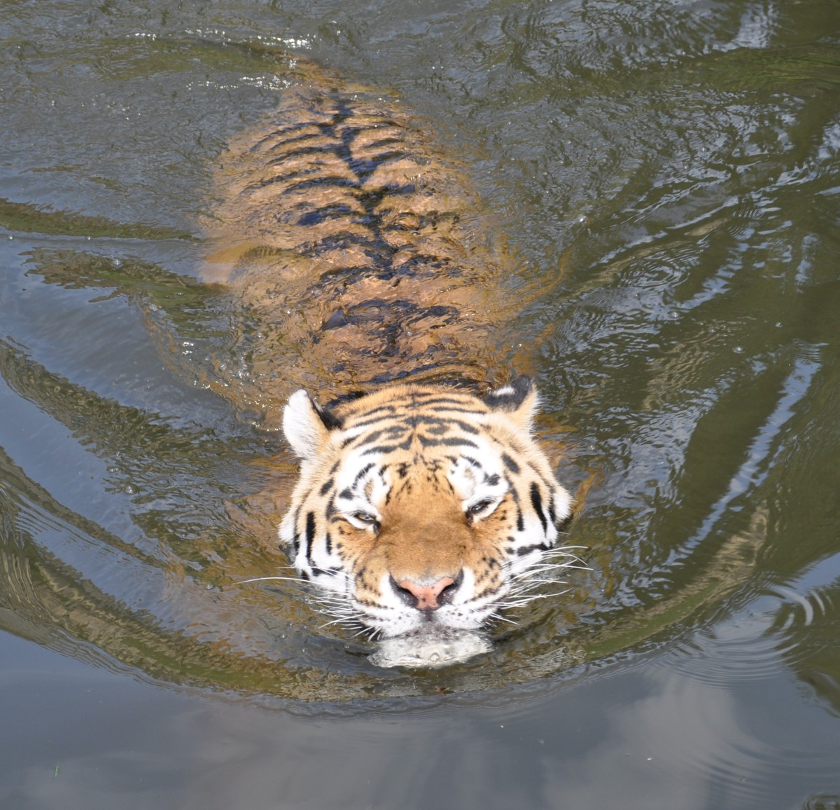 Siberian tiger swimming at Wuppertal Zoo in Germany