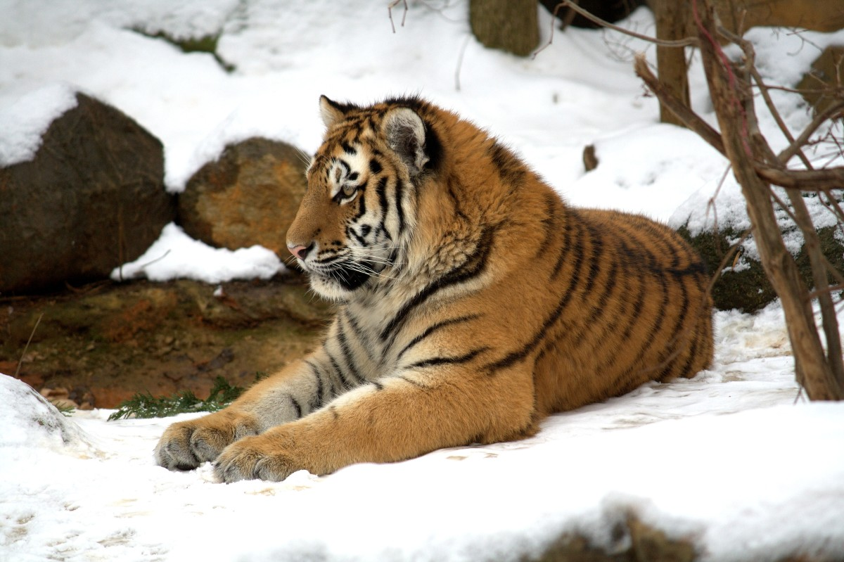 Siberian tiger cub at the Leipzig Zoo in Germany