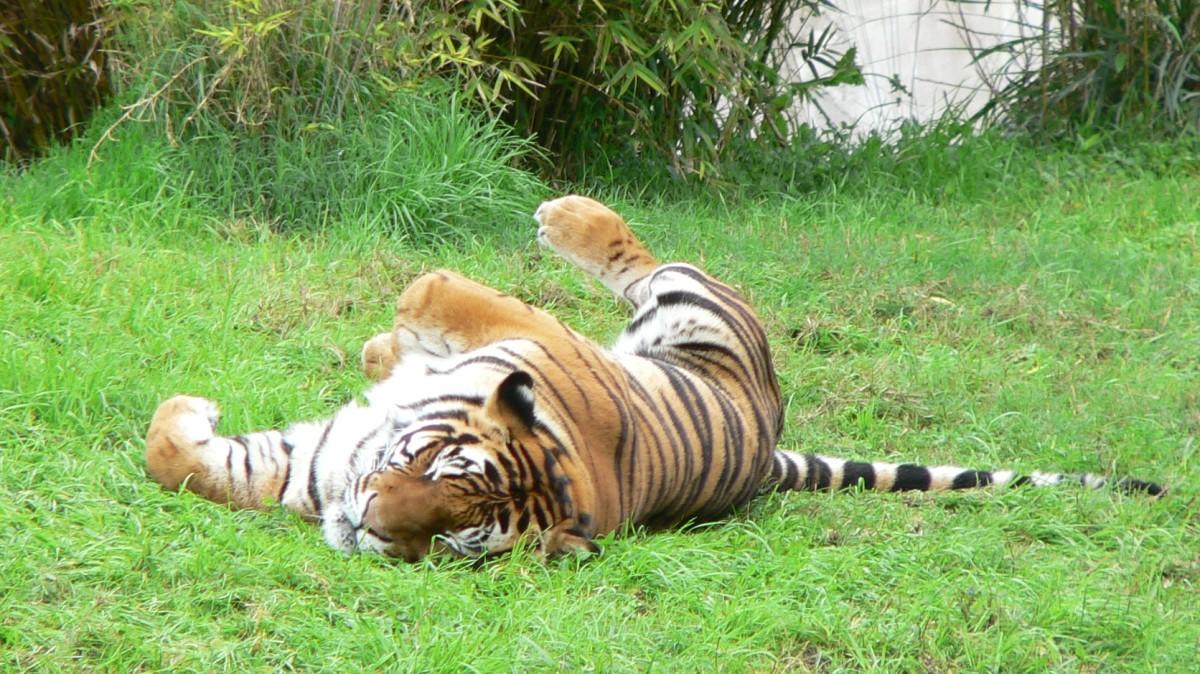 A tiger sleeping at Disney's Animal Kingdom in Florida