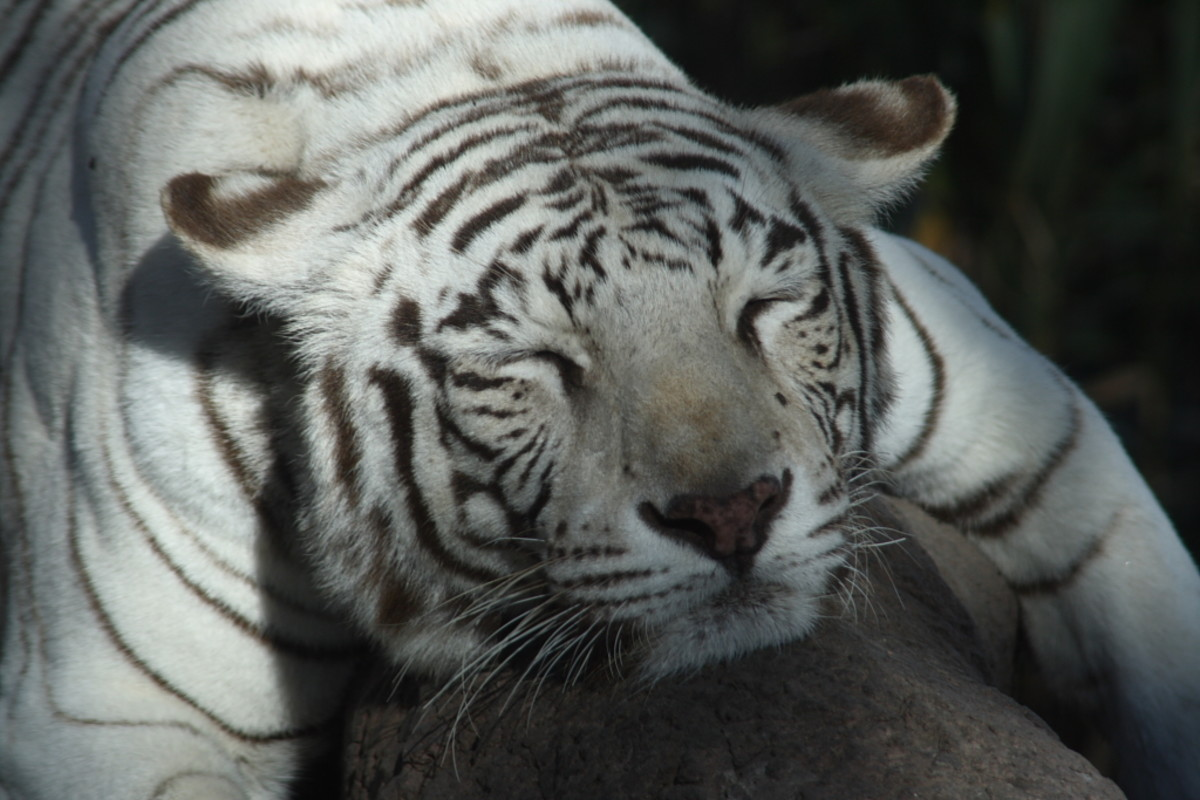 A white Bengal tiger sleeping