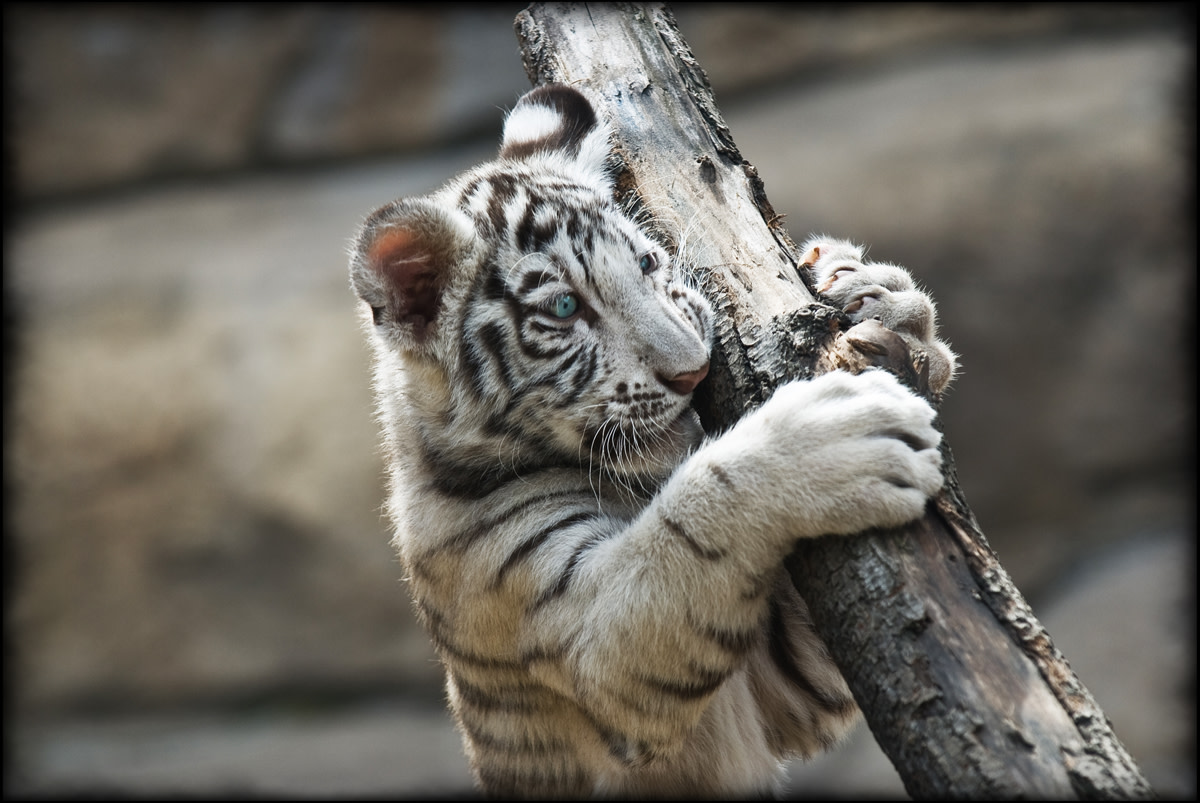 White tiger cub at the Moscow Zoo