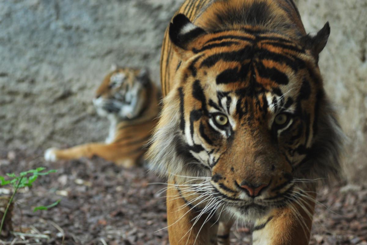 Sumatran tiger at a zoo in Spain