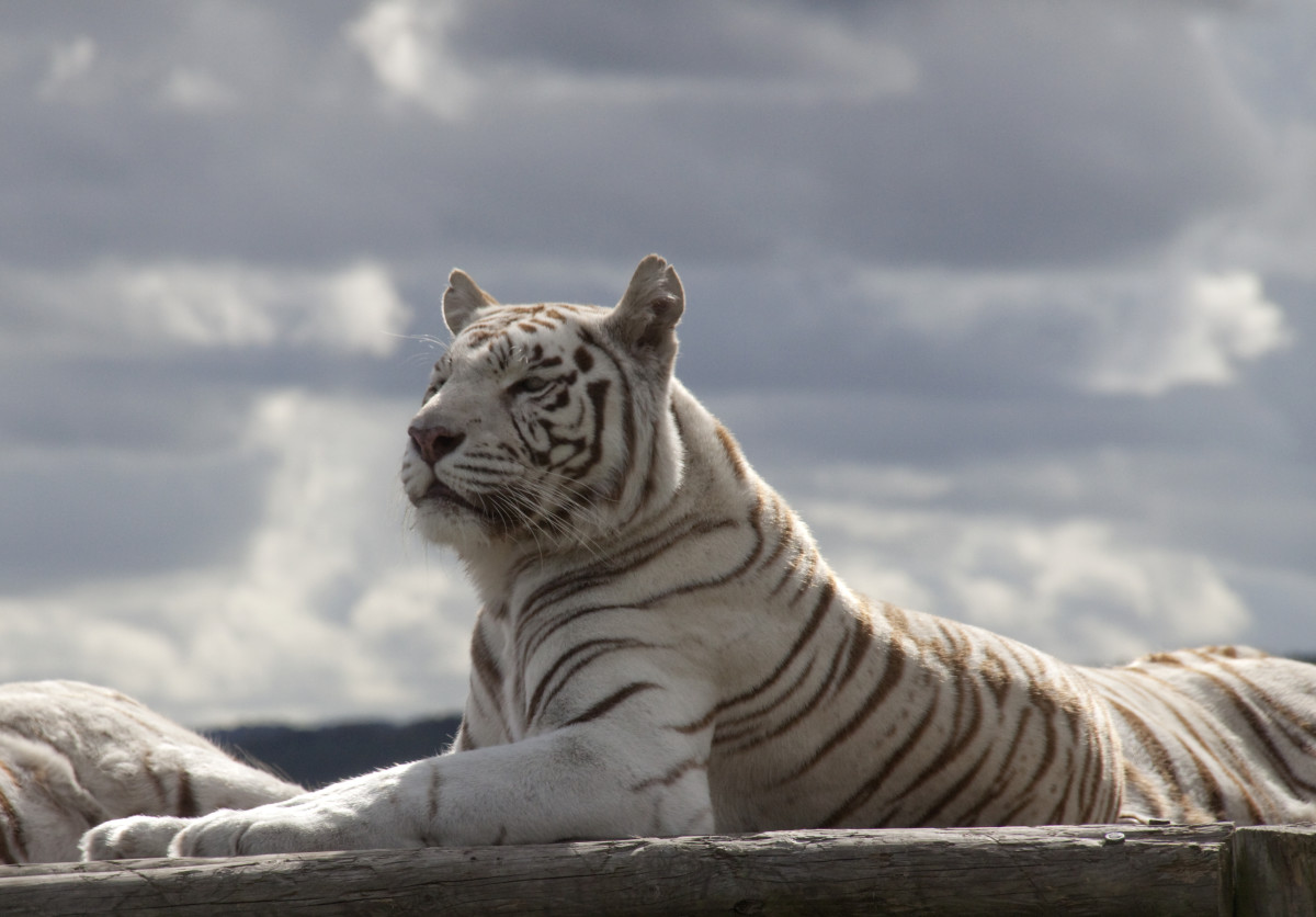 A white tiger at West Midlands Safari Park in England