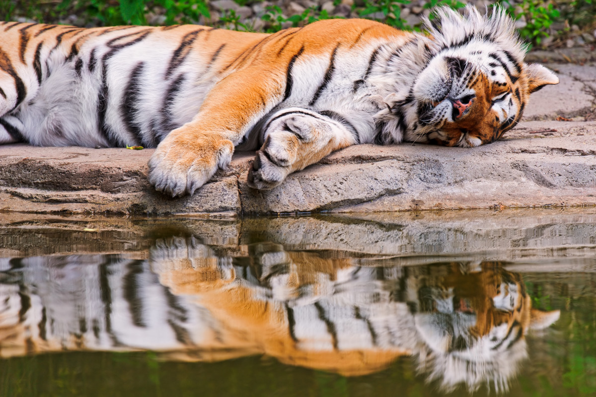 Tiger sleeping by the water at the Zürich Zoo