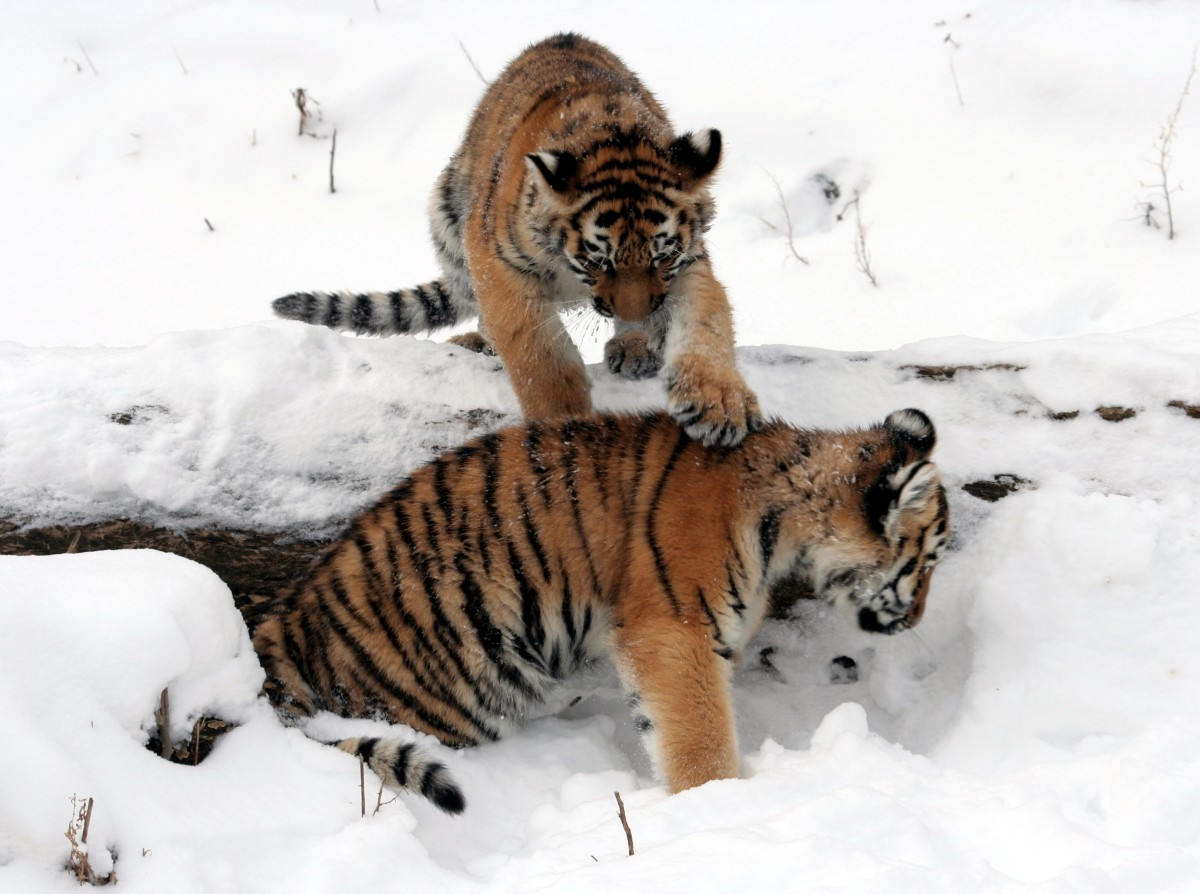 Dave Pape, Public domain, via Wikimedia Commons Two Siberian tiger cubs at the Buffalo Zoo