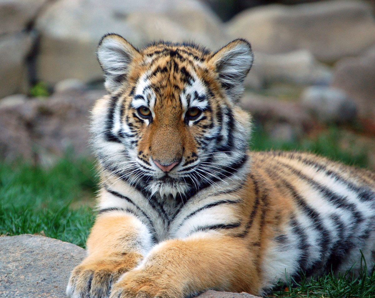 Lion cub at the Philadelphia Zoo
