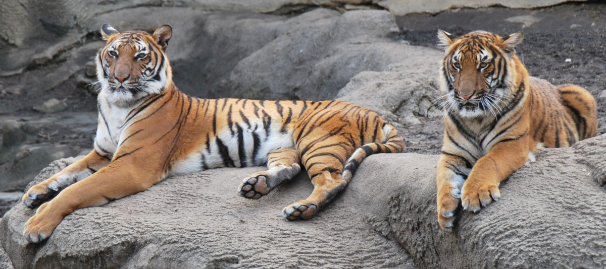 Malayan tigers are found on the Malay Peninsula and are similar in appearance to Indochinese tigers. These are two Malayan tigers at the Cincinnati Zoo.