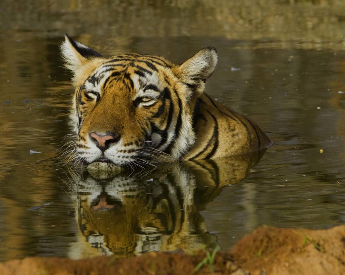 A tiger cooling off at Ranthambhore National Park in India