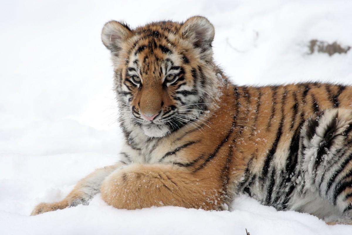 Dave Pape, Public domain, via Wikimedia Commons Siberian tiger cub at the Buffalo Zoo