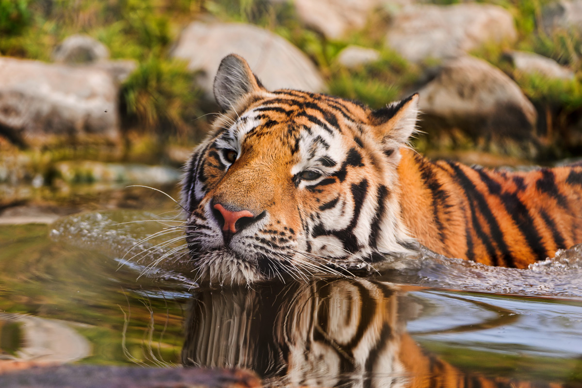 Tiger swimming at Walter Zoo in Gossau, Switzerland