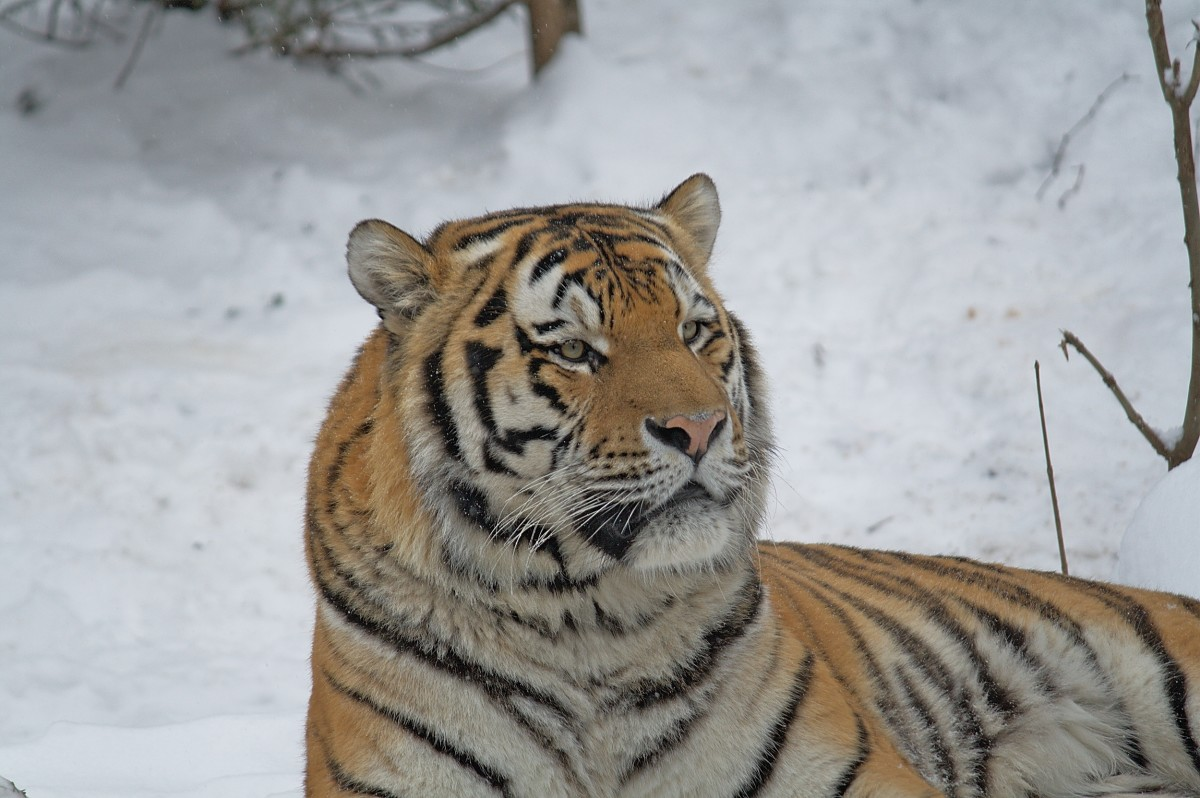 Siberian tiger at the Leipzig Zoo in Germany