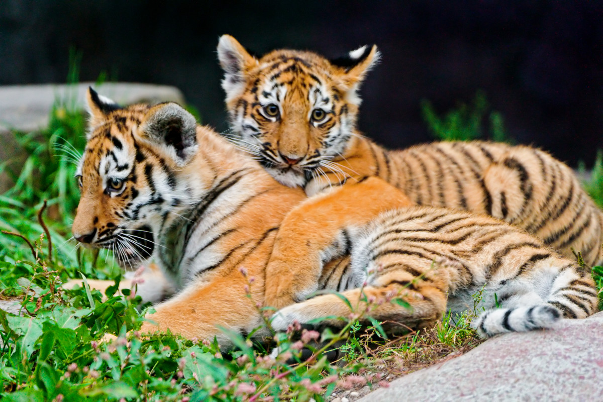 Tiger cubs Liska and Lailek resting