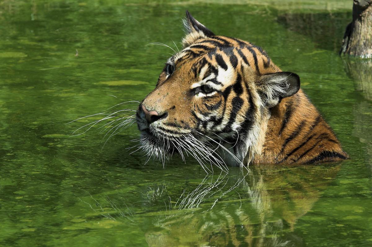 Malayan Tiger swimming at Zoo Dortmund in Germany