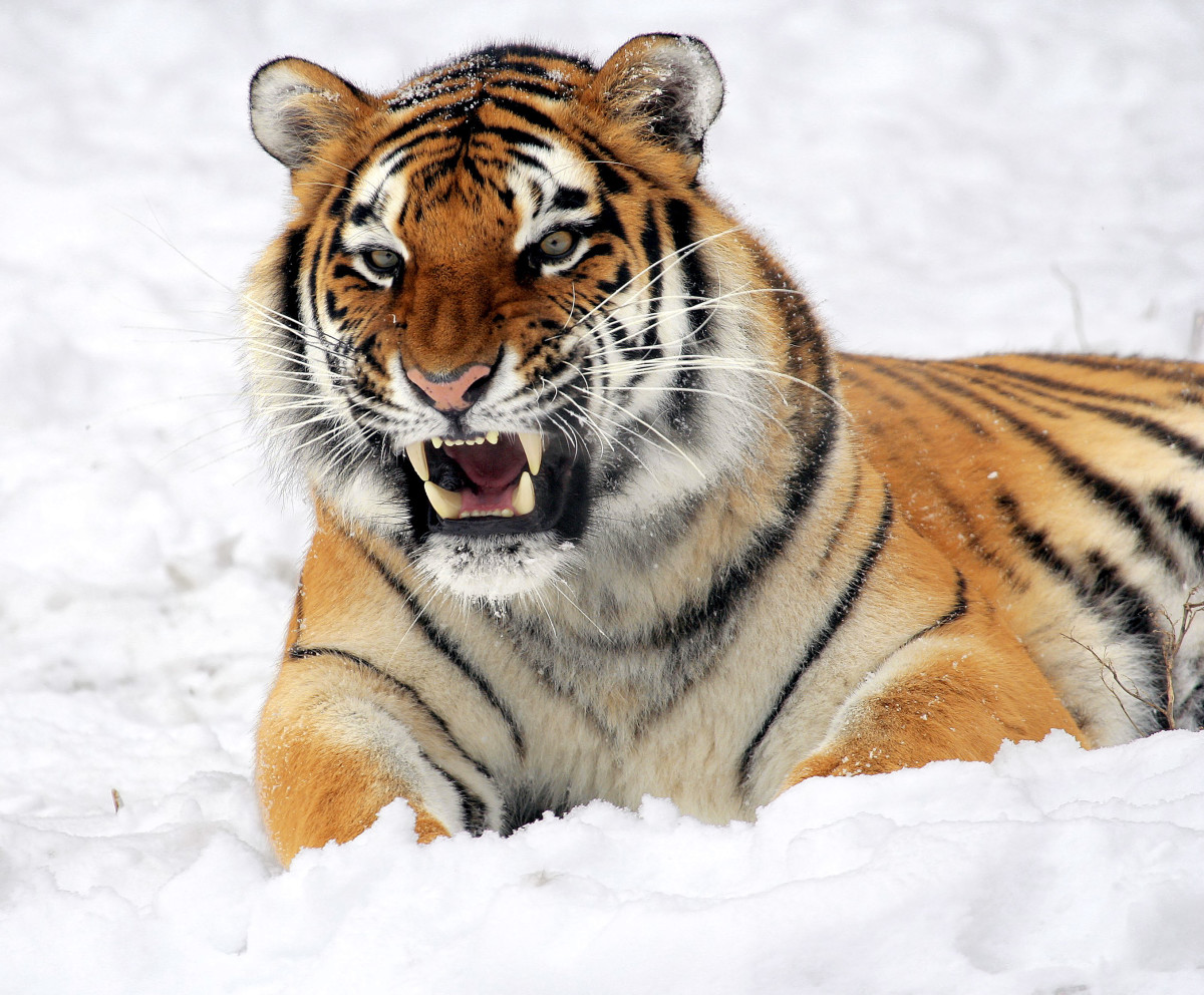 The Siberian tiger, also called the Amur tiger, is the largest living cat, with some males weighing as much as 177 kg (390 lb). This Siberian tiger is at the Buffalo Zoo.