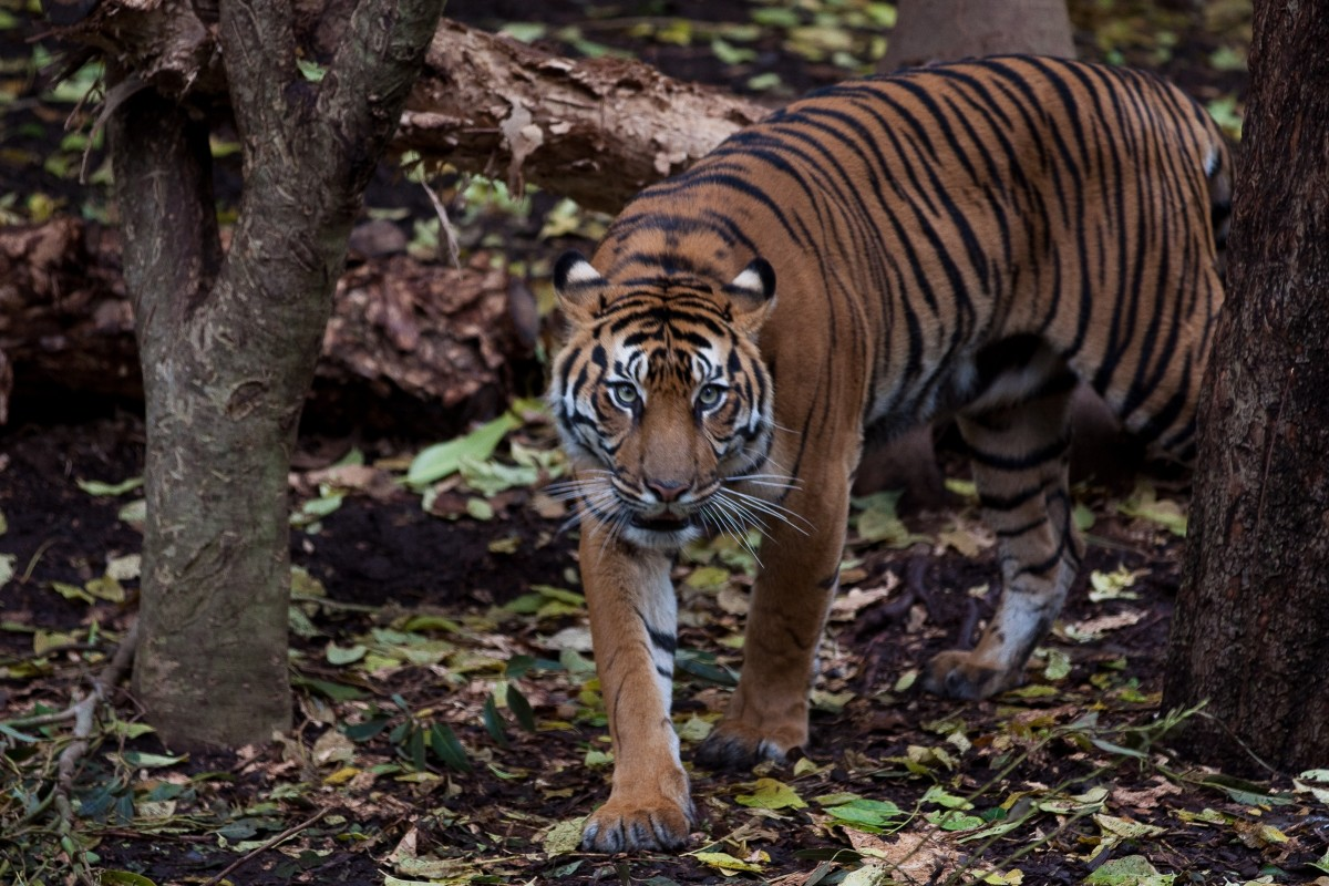 The Sumatran tiger, found only on the Indonesian island of Sumatra, is the smallest tiger subspecies. Males weigh just 100-140 kg (220-310 lb). This photo is of a Sumatran tiger at the Melbourne Zoo.