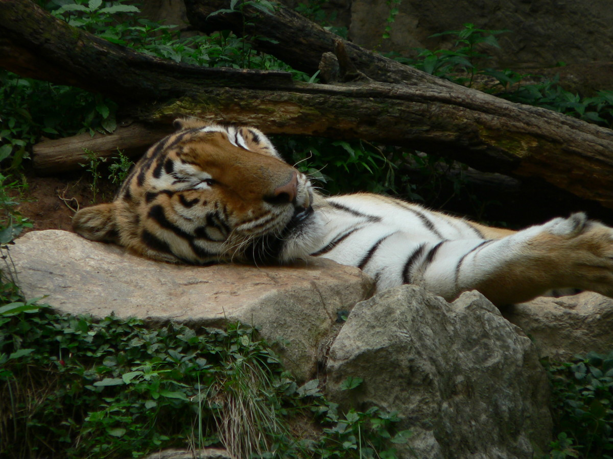 A tiger sleeping at the Everland Theme Park South Korea.