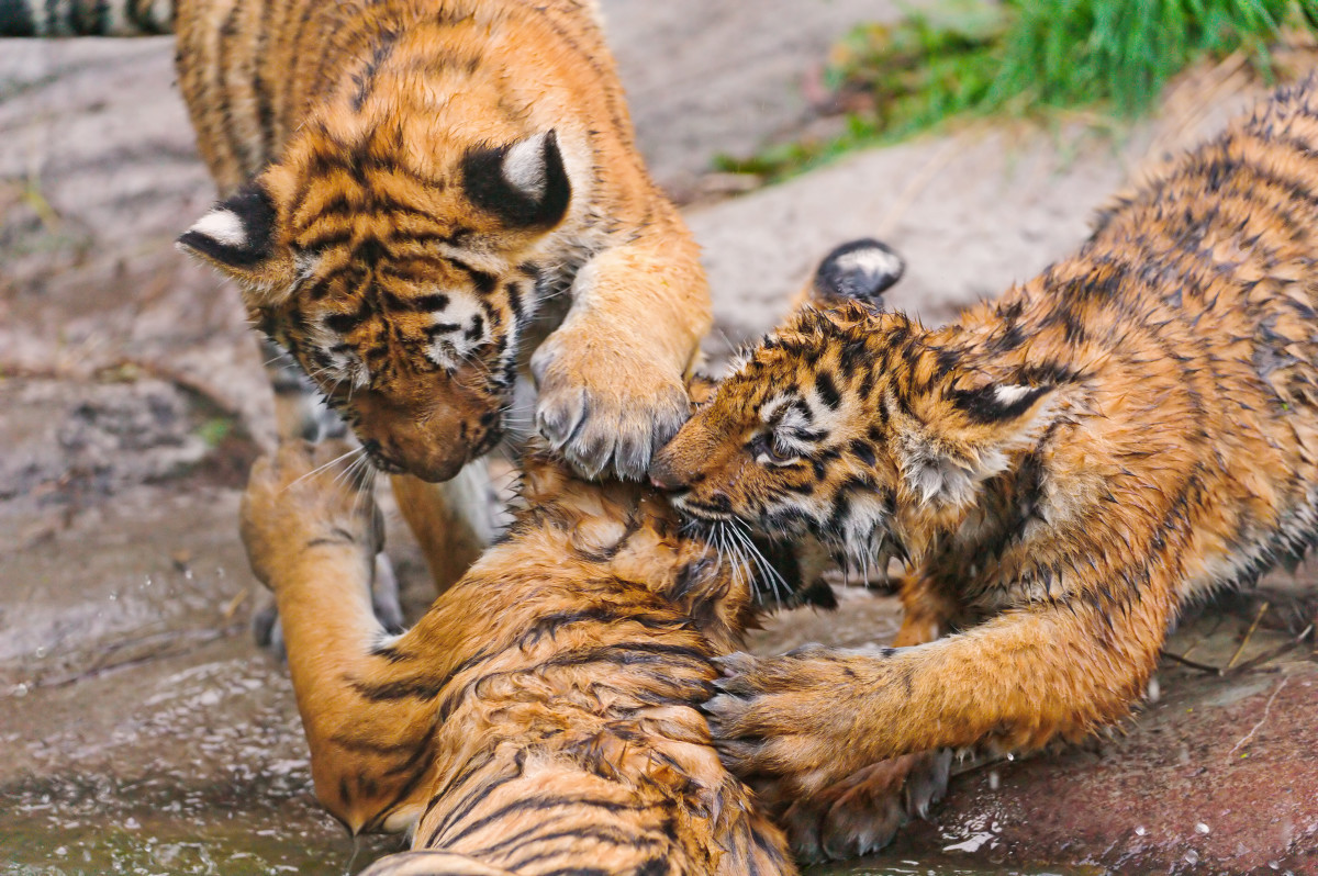 Tiger cubs playing aggressively (Don't worry, none of the cubs got hurt!)