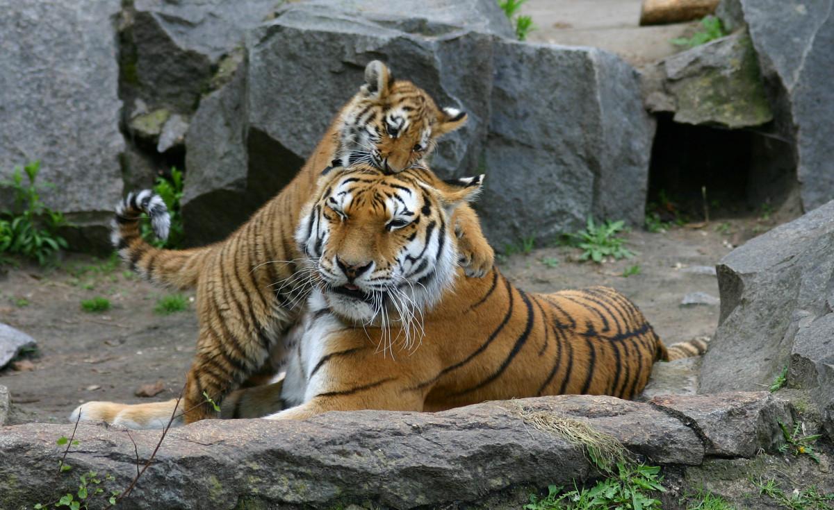 Siberian tigers at Tierpark Berlin