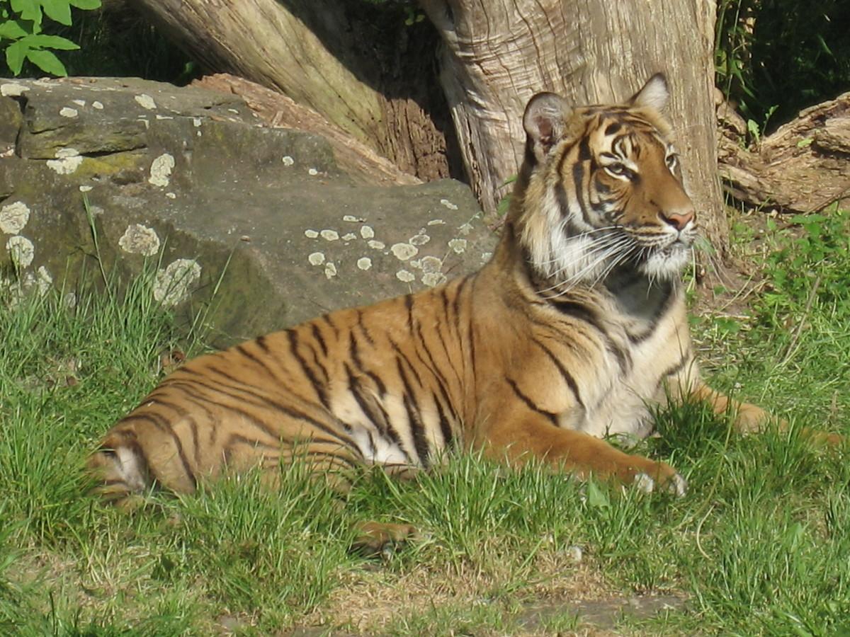 Tiger at Zoo Dortmund in Germany