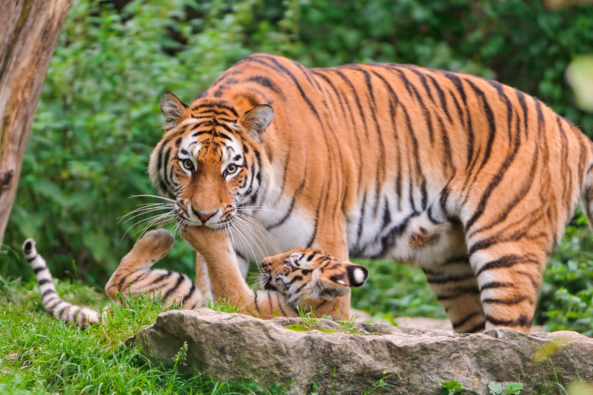 Mother Elena was playing with one of her cubs and the cub put his paw into her mouth
