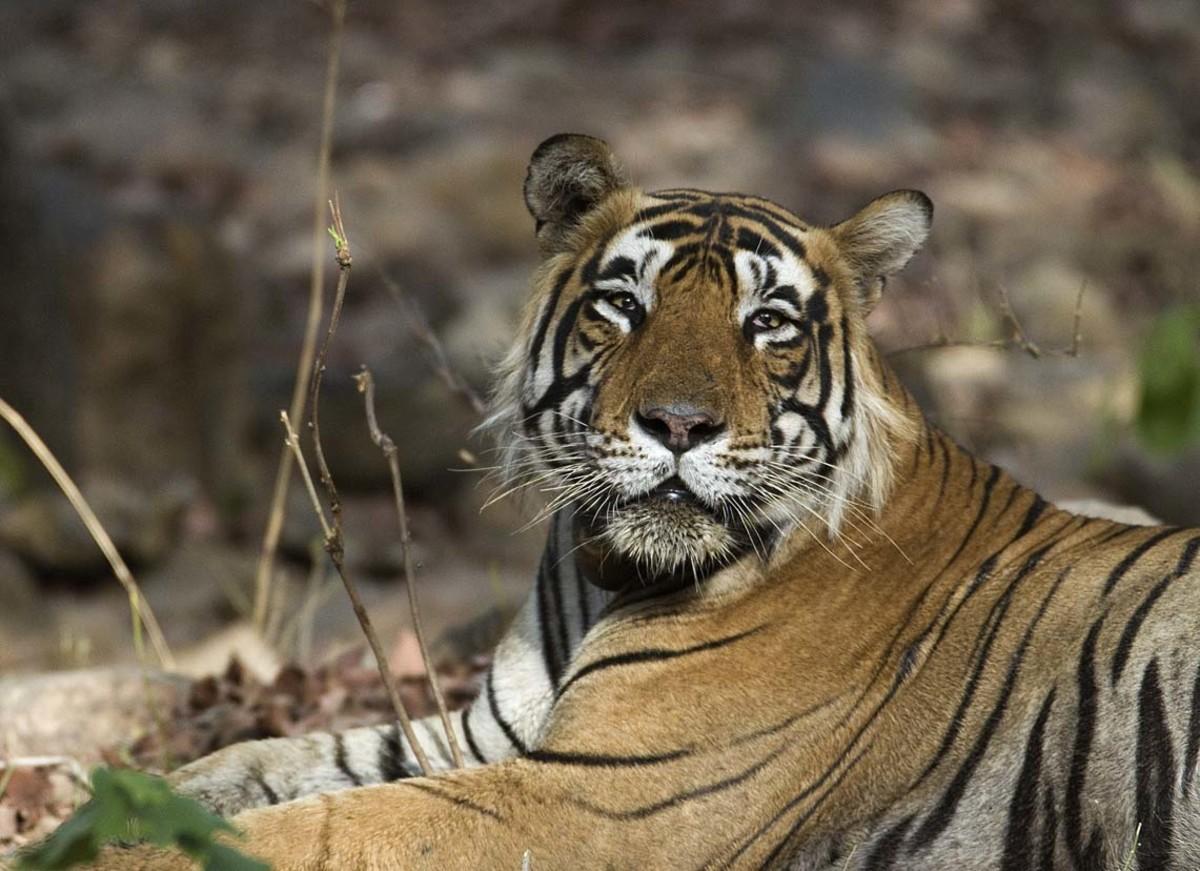 Bengal tiger at Ranthambhore National Park in India