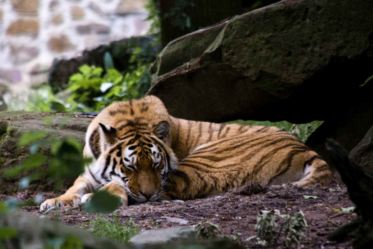 Tiger sleeping at Ouwehands Dierenpark Rhenen in the Netherlands