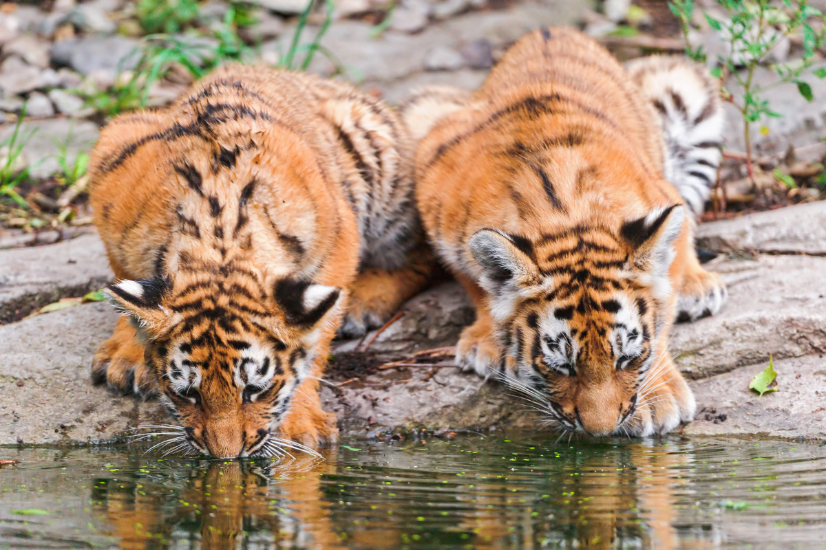 Liska (left) and Luva (right) drinking together at a pond