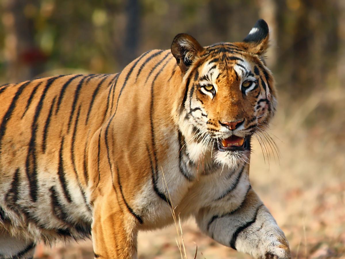 Bengal tiger at Nagzira Wildlife Sanctuary in India