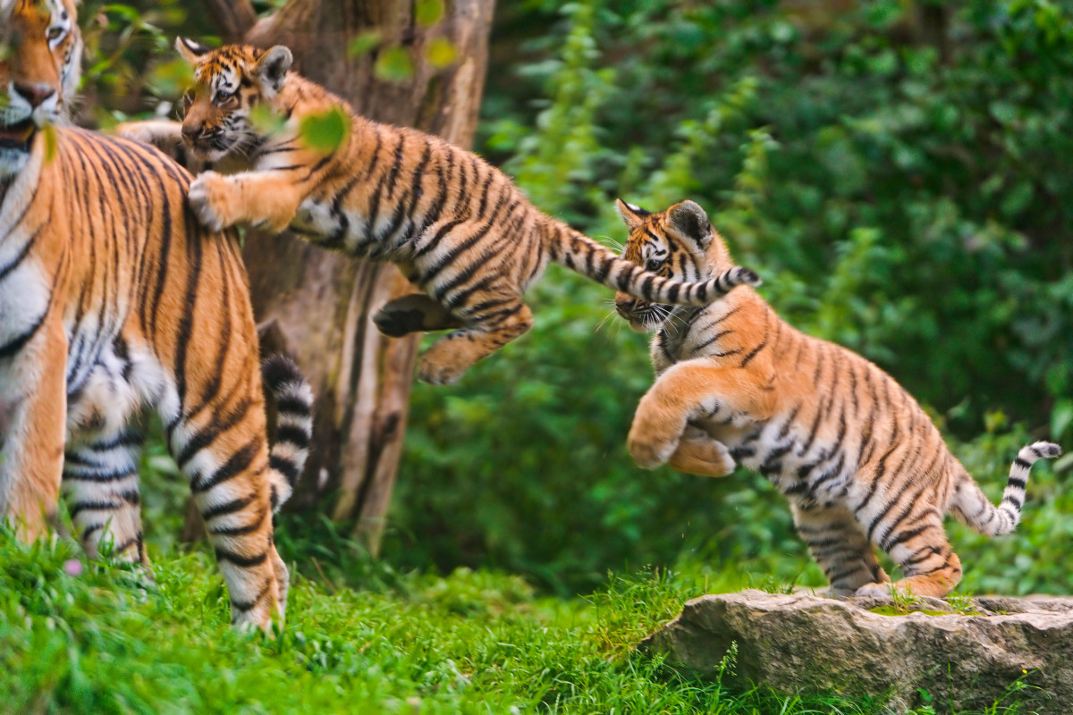 Cubs jumping after mom